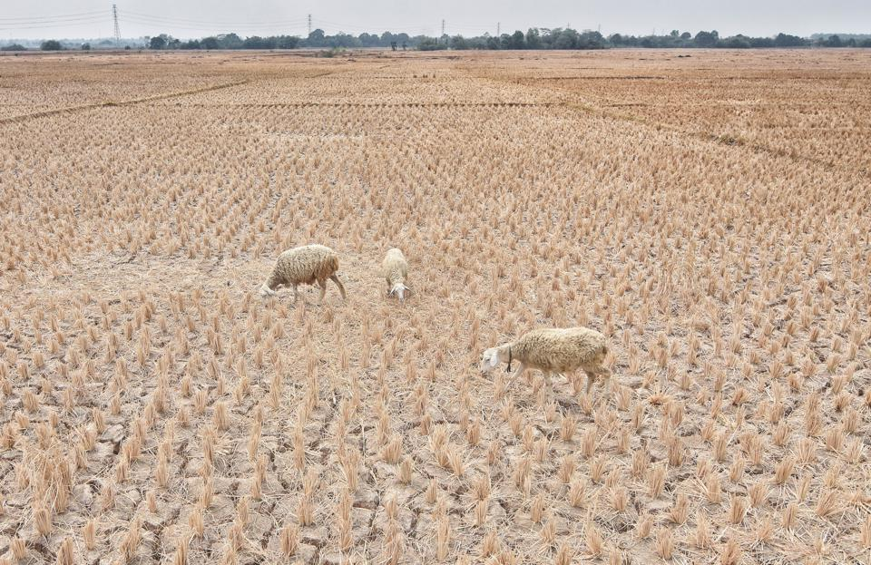 Sheep seen in a dry paddy field. The Meteorology,...