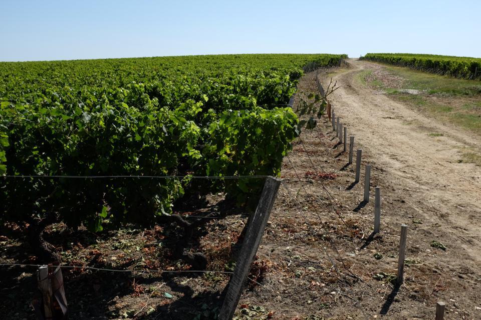 Vines in Haut-Médoc