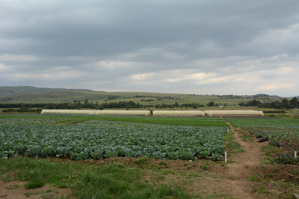 A farm field of cabbages ready for harvest in Nairobi.