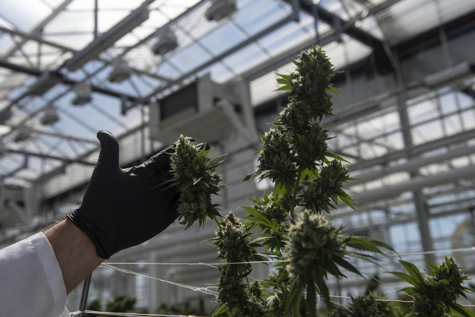 Medical marijuana growers are expanding their operations due to high demands.