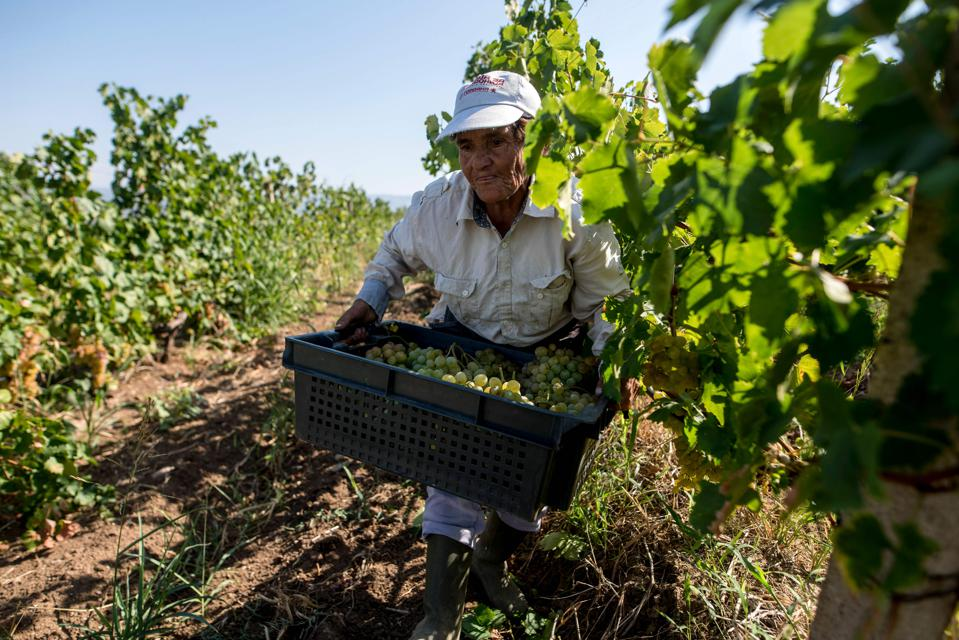 NMACEDONIA-AGRICULTURE-WINE