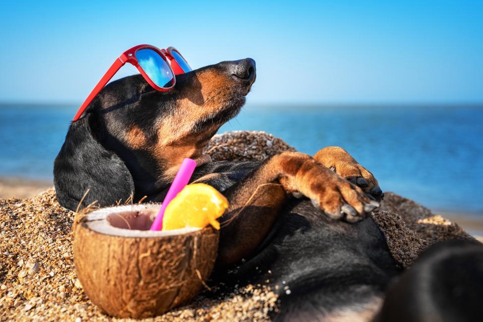 beau chien teckel, noir et brun, enterré dans le sable au bord de la mer pendant les vacances d'été, portant des lunettes de soleil rouges avec cocktail de noix de coco