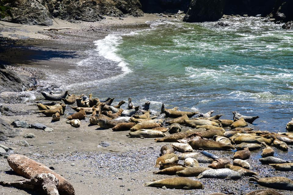 Harbor seals resting in a protected cove in Northern California. In 2000, over twenty harbor seals were found dead. A coronavirus may have played a role in the mass mortality event.