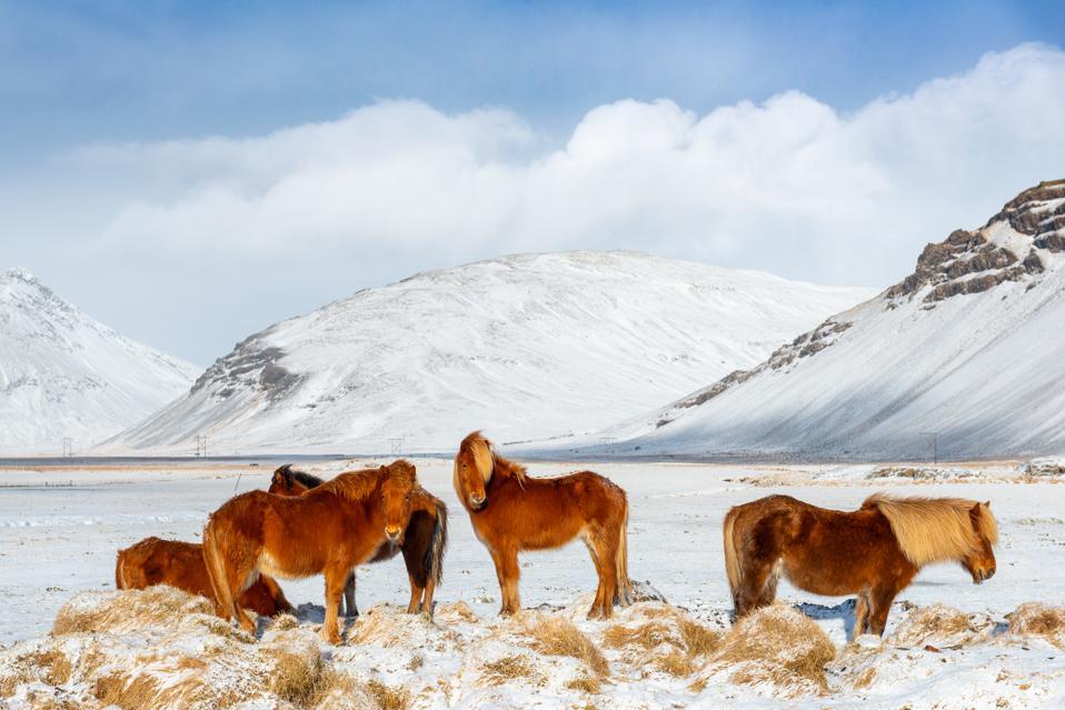 Icelandic horse during winter snow, Iceland