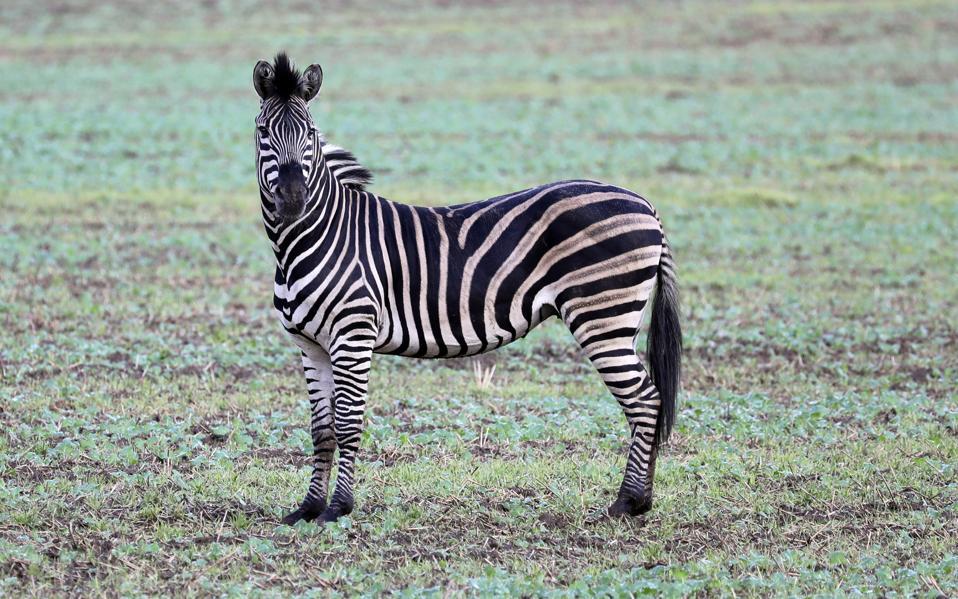 Image result for Zebra