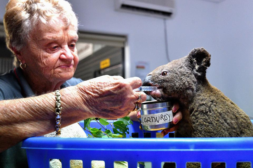 A dehydrated and injured koala receives treatment at the Port Macquarie Koala Hospital November 2 after being rescued from a bushfire.