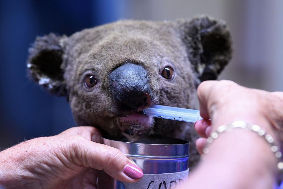 AUSTRALIA-KOALA-ANIMAL-FIRE