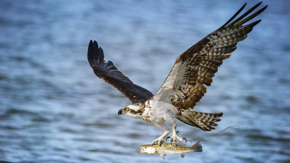 Osprey with Fresh Caught Fish at Fort Myers Beach, Florida