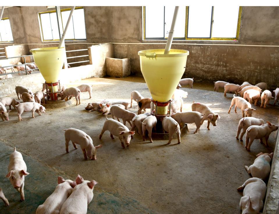 Pig Farm In Anhui
