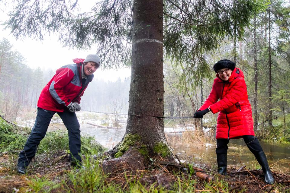 The Mayor of Oslo and a London Councillor cutting down a Norwegian Spruce in Oslo, Norway.