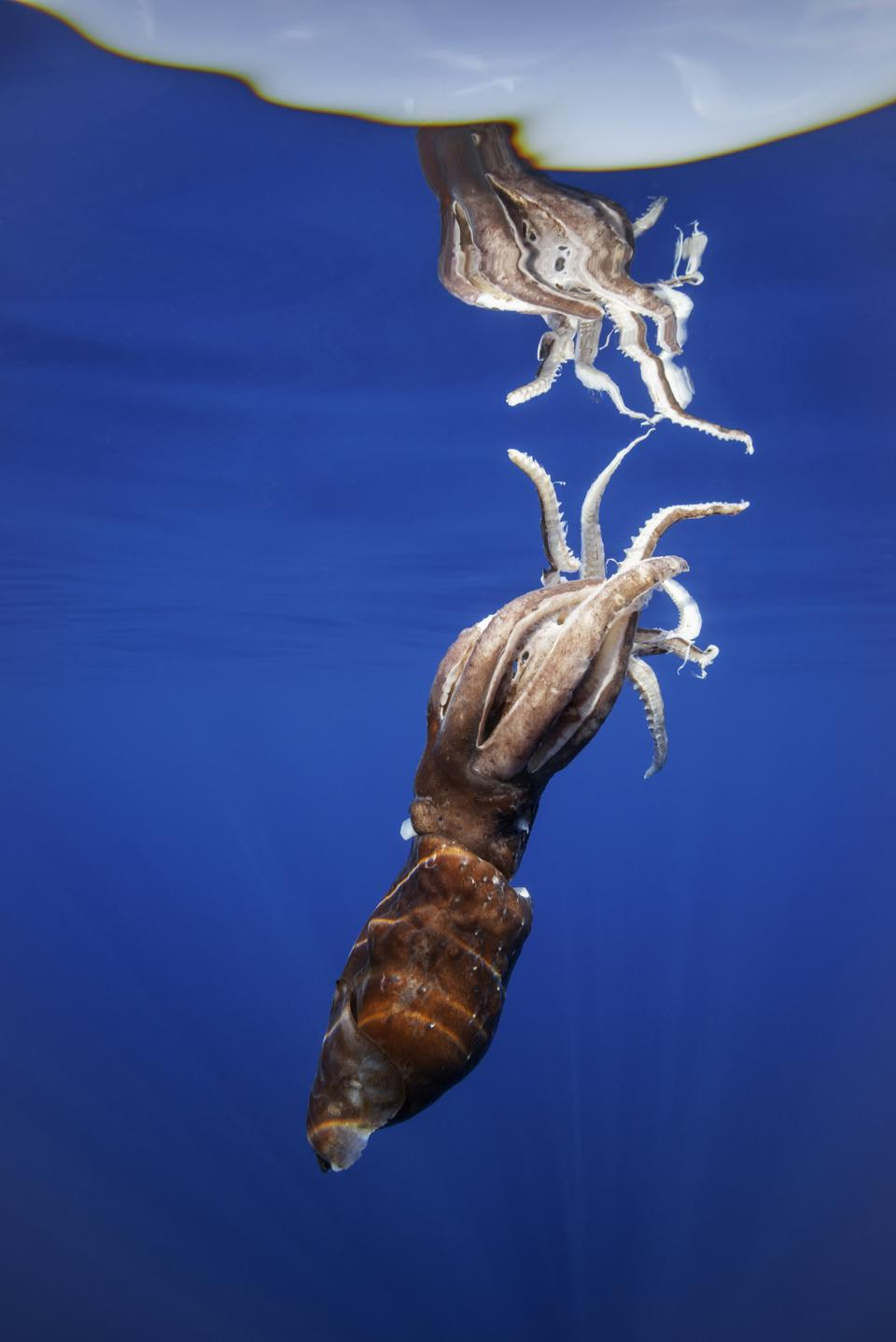 An injured giant squid near the water's surface.