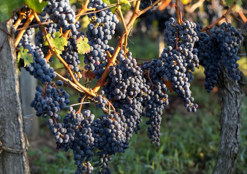 Merlot grapes in the Médoc region of Bordeaux