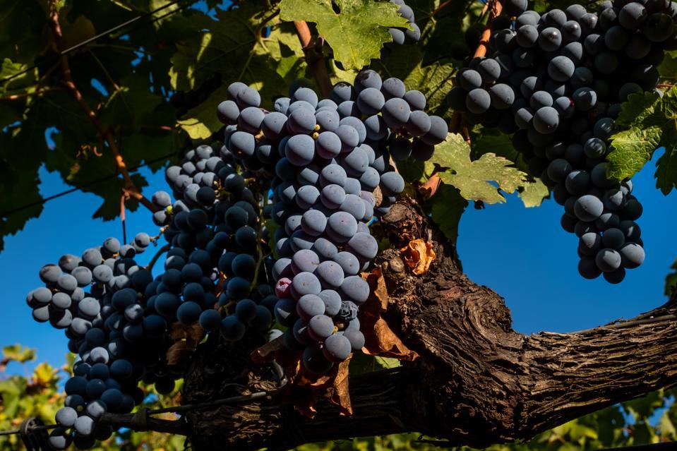 Wine grapes in Bolgheri, Tuscany, Italy
