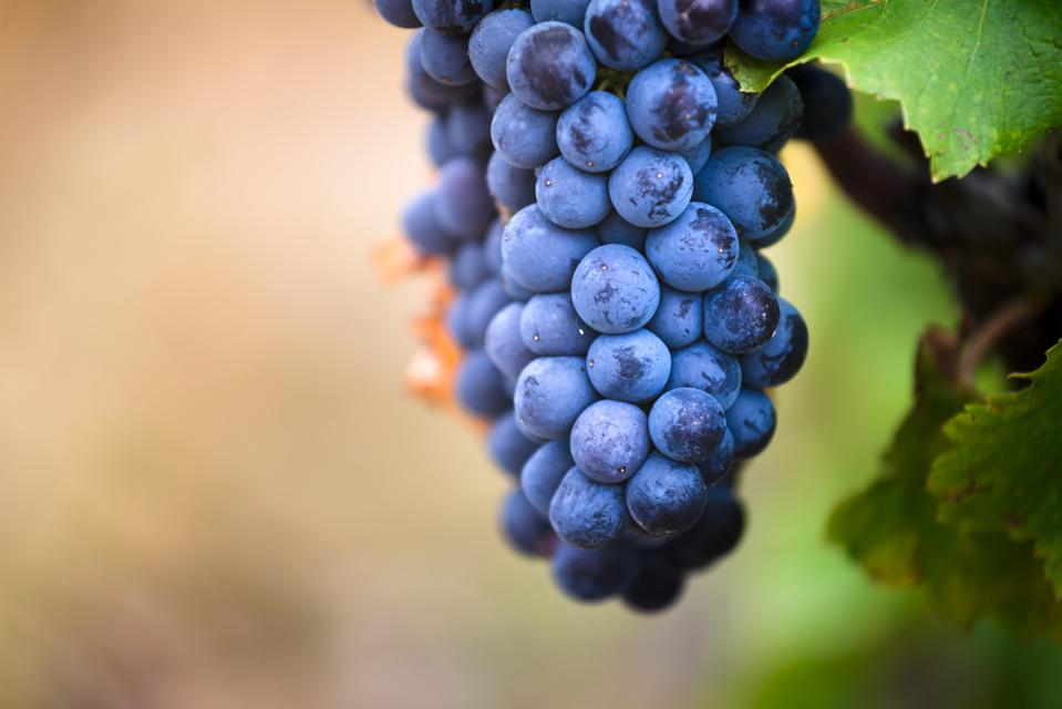 Gamay grapes on vines