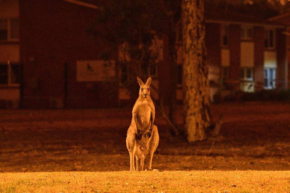 A kangaroo seeking refuge from nearby fires at a residential property Tuesday near the town of Nowra in New South Wales.