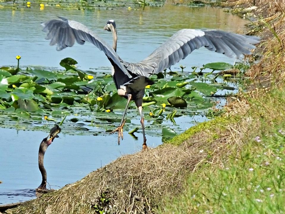 Anhinga with fish and Great Blue Heron starting to fly in the Florida Everglades