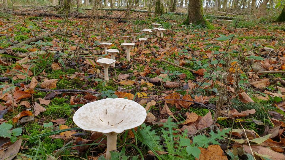 Fairy ring - Mushrooms on high legs stand nearby in a circle