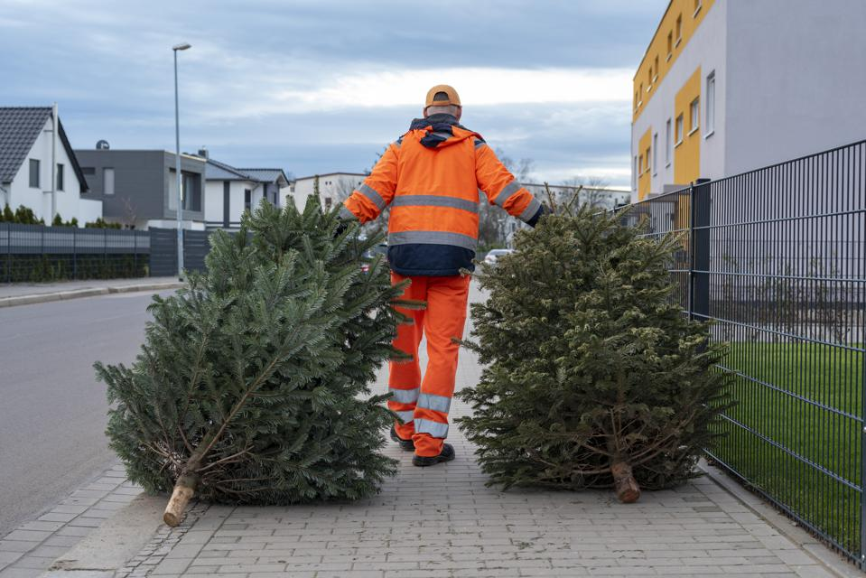 Christmas trees - disposal is in full swing