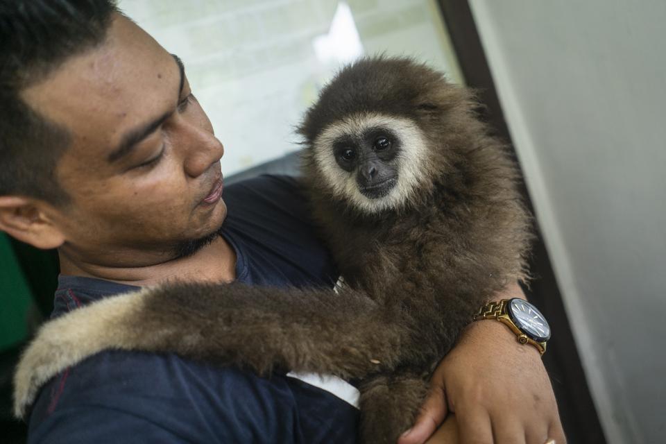 A resident hugs the white-handed gibbon endangered primate...