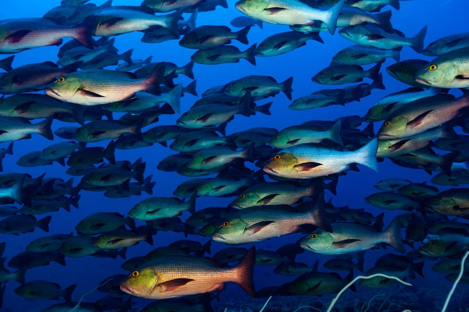 Fish meeting up to spawn, aggregate spawning in tropical water
