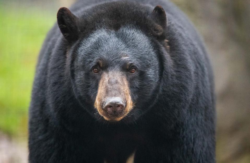 Black bear in close up