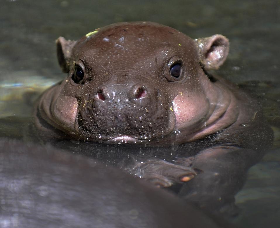 A baby Pygmy hippopotamus takes a bath i