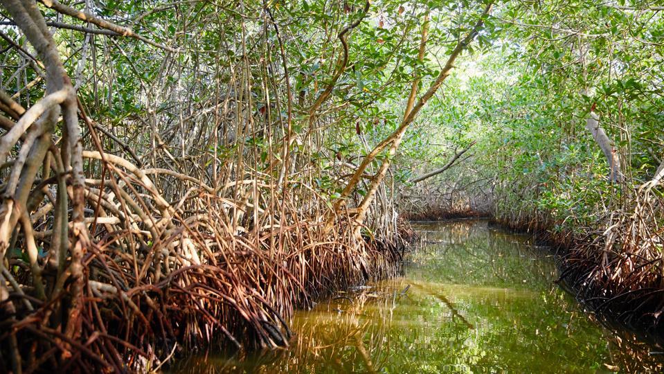 Mangrove Swamp near La Boquilla, Colombia