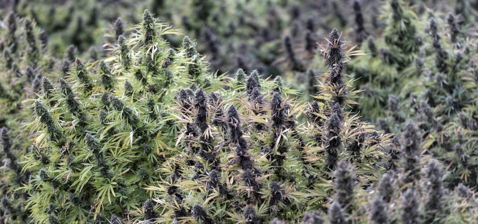 Flowering field of industrial hemp...