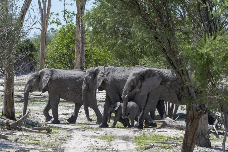 An African elephant (Loxodonta africana) herd with a baby...