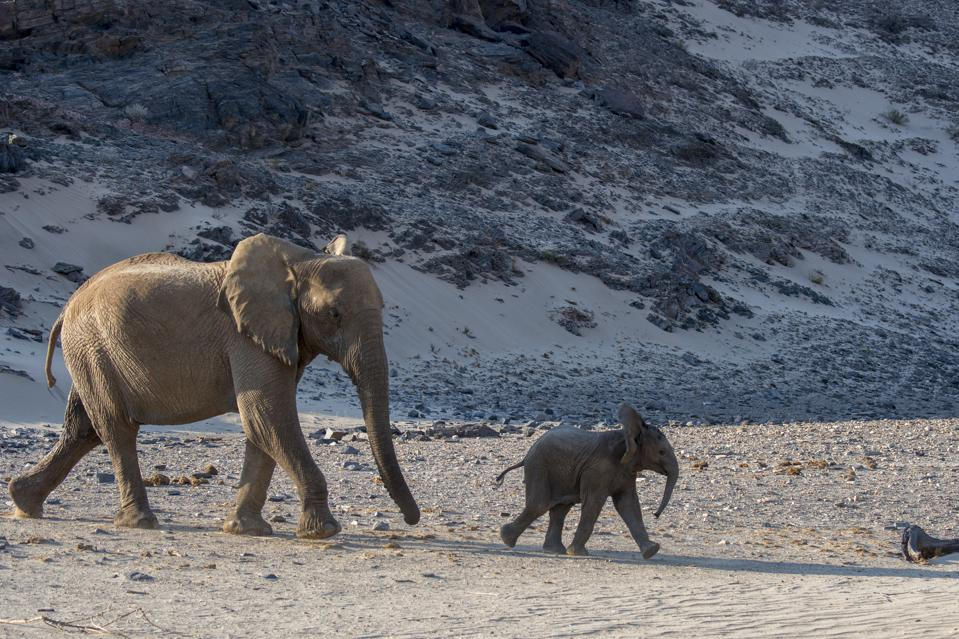 Conservation Africa News - African elephant (Loxodonta africana) mother and baby (about...