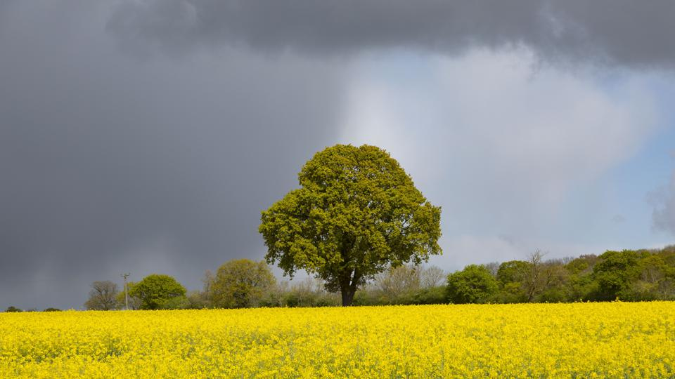 Dark rain clouds and sun over an oak tree in England.