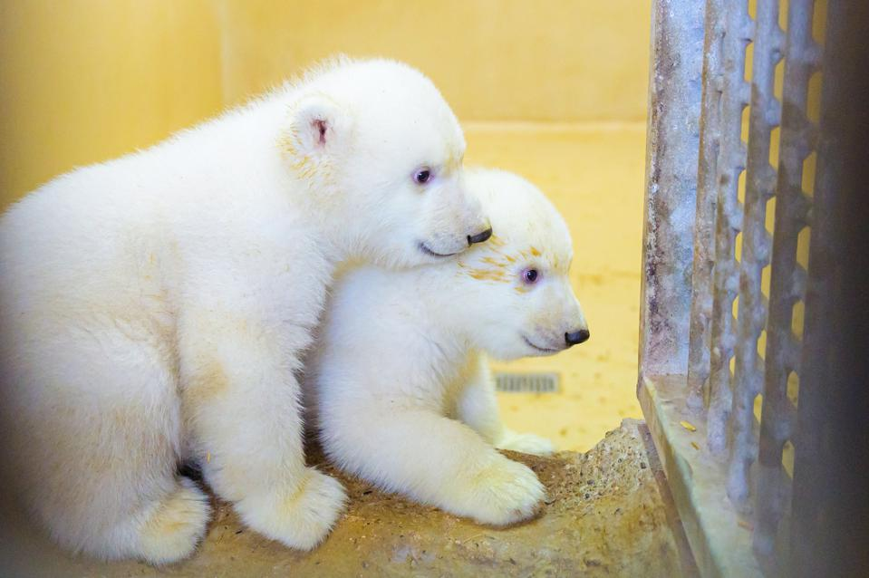 Polar bear offspring in the zoo by the sea