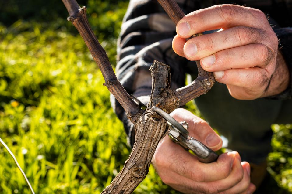 Farmer pruning the vine in winter. Agriculture.
