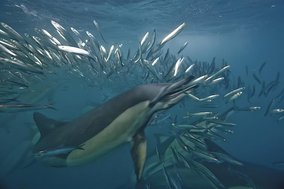 Dolphin eating sardine, during annual mig