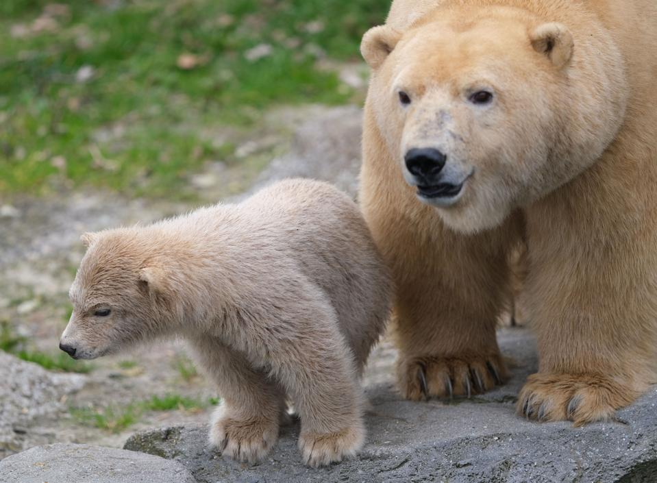 Young polar bears make their first trip to the Zoo's outdoor area