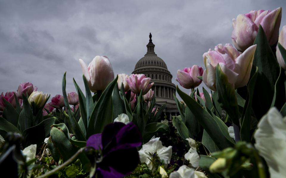 Capitol Tulips