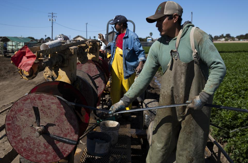 Agriculture Workers, Deemed Essential, Continues Working In The Fields In Oxnard, California