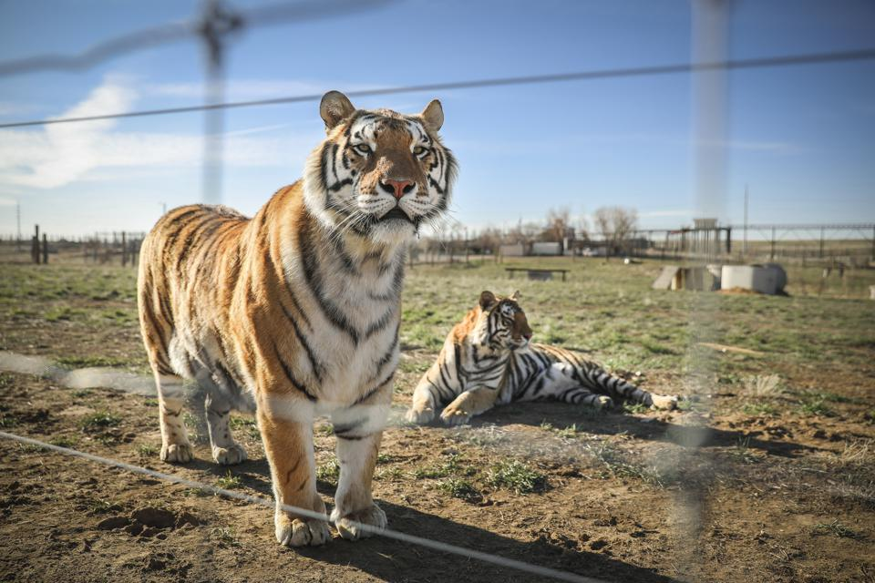 The human drama overshadows the suffering of the animals in Tiger King.