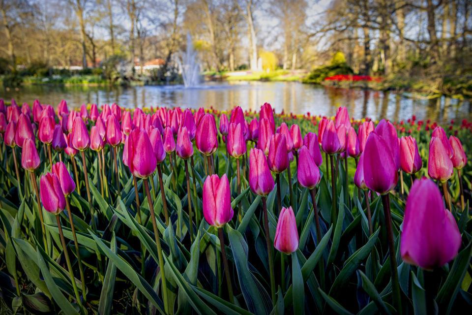 Netherlands Coronavirus Lockdown Keukenhof gardens closed this year to tourists