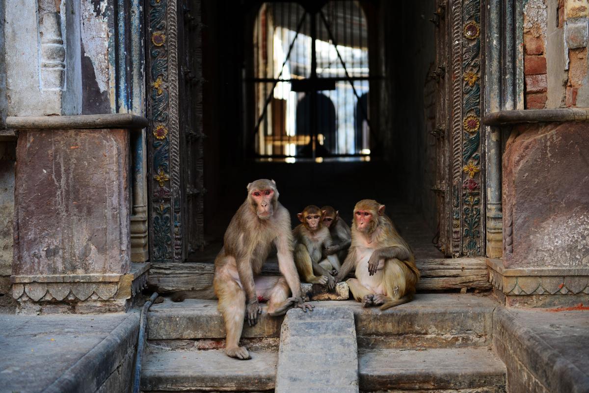 INDIA-MONKEY SITTING OUTSIDE HOUSE-HEALTH-VIRUS