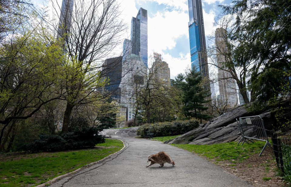 A solitary racooon crosses a path in a park, with skyscrapers in the background