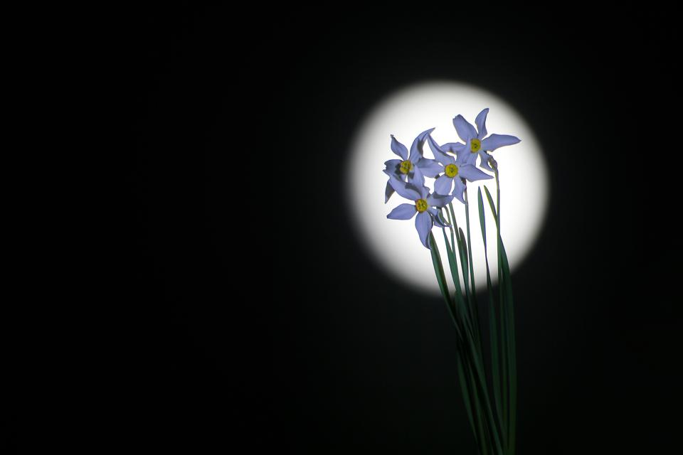 Narcissus flowers and supeer moon in Turkey
