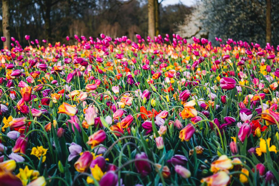 Field of blooming tulips