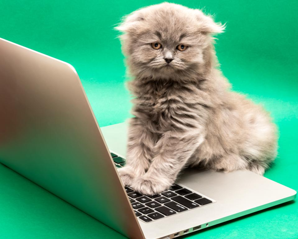 Gray Scottish Fold Longhair kitten with paws on a laptop keyboard