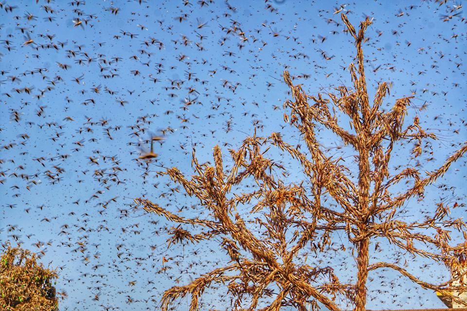 Locusts Attack In Jaipur