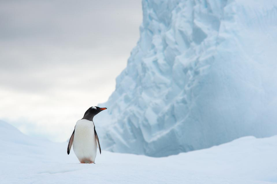 A lone gentoo penguin (Pygoscelis papua) stands below a glacier and looks off
