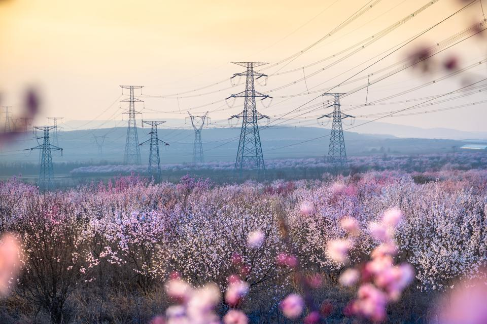 500KV And 220KV Electric Wires Over Apricot Blossoms In Dalian