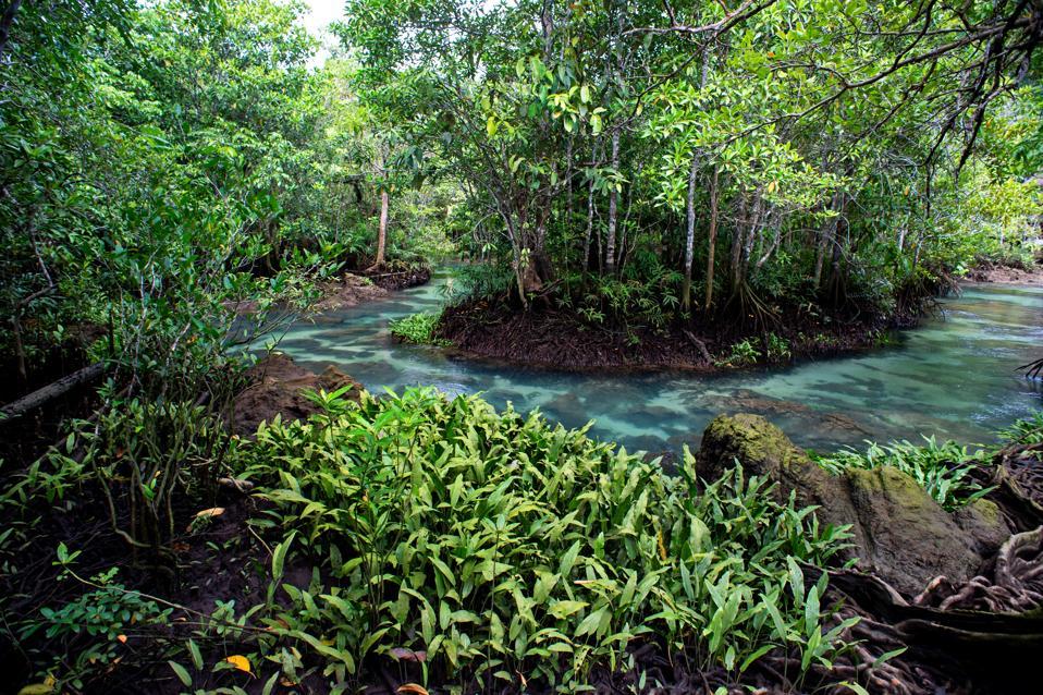 Mangrove forest at Khlong Song Nam  Tha Pom, Krabi Province, Thailand.