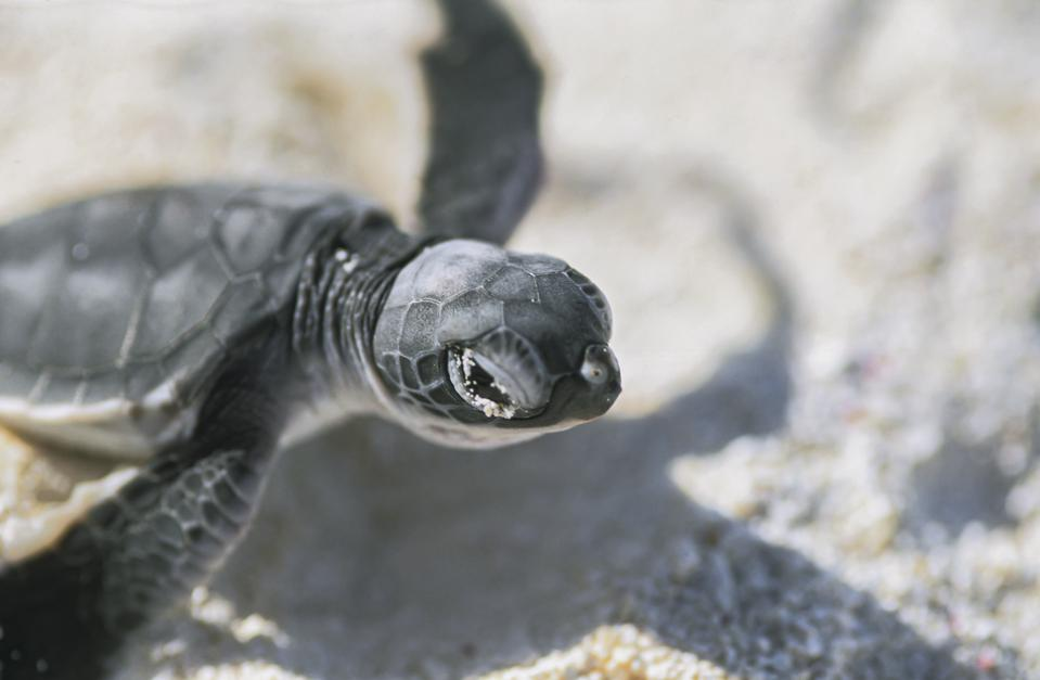 A baby green sea turtle, a species listed as endangered by the IUCN and CITES.