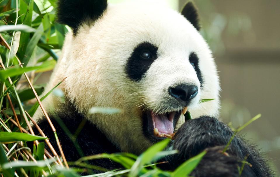 Female panda Meng Meng at Berlin Zoo